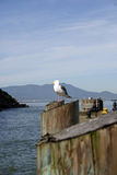 alcatraz θάλασσα γλάρων Στοκ Φωτογραφίες