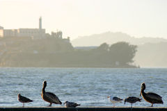 Alcatraz Foto de archivo
