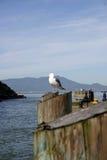 Alcatraz - gabbiano di mare Fotografie Stock