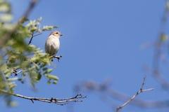 alcaudón Rojo-apoyado en una rama de un árbol en una naturaleza Ucrania salvaje 2017 Fotografía de archivo libre de regalías