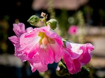 Pink hollyhocks with morning sunlights. Royalty Free Stock Photography