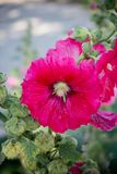 Red hollyhocks with morning sunlights. Alcea,commonly known as hollyhocks, is a genus of about 60 species of flowering plants in the mallow family Malvaceae Stock Images