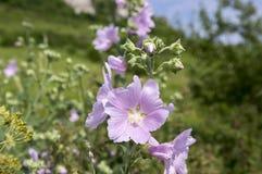 Alcea della malva in fioritura, fiore rosa sul gambo con le foglie immagini stock