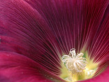 Alcea do Malva Imagem de Stock Royalty Free