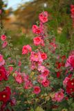 Alcea. Is a genus of about 60 species of flowering plants in the mallow family Malvaceae, commonly known as the hollyhocks Stock Photos