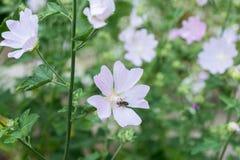 Alcea pallida pink flowers Royalty Free Stock Photo