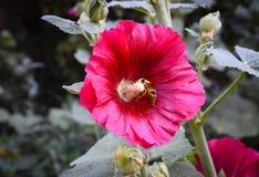 Alcea rojo de la malvarrosa con la abeja Fotos de archivo libres de regalías