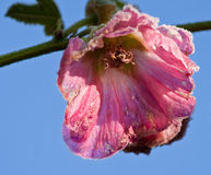 Alcea rosea Royalty Free Stock Images