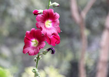 Alcea rosea, common hollyhock, red flowered Royalty Free Stock Photo