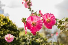 Hollyhock Mallow, Alcea rosea, Malvaceae, Althaea rosea. Alcea Rosea, a double form in red. Also comonly known as Hollyhock. Very shallow depth of field used on Royalty Free Stock Images