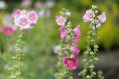 Alcea Rosea flowers Stock Images