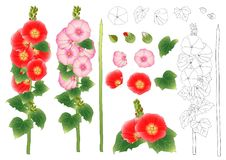 Alcea Rosea Outline - hollyhocks, Aoi in the mallow family Malvaceae. Orange Red Flower Color . isolated on White Background. Vect Stock Photo