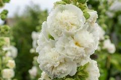 Alcea Rosea, une double forme dans le blanc Ils sont plante ornementale de jardin populaire ?galement comonly connu comme rose tr photographie stock