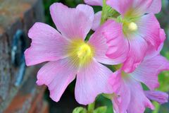 Alcea setosa -桃红色有刚毛蜀葵花植物 免版税库存图片