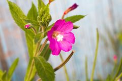Alcea setosa the bristly hollyhock in summer garden. Close up royalty free stock images