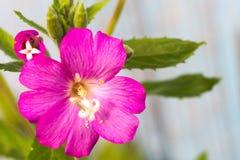 Alcea setosa the bristly hollyhock in summer garden. Close up stock photo