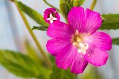 Alcea setosa the bristly hollyhock in summer garden. Close up royalty free stock image