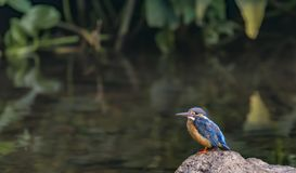 Alcedo atthis or the Common blue kingfisher on a rock stock images