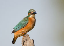 Alcedo atthis Royalty Free Stock Images