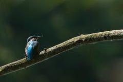 Alcedo Atthis Kingfisher стоковое изображение rf