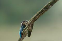 Alcedo Atthis Kingfisher стоковое фото