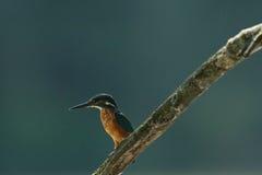 Alcedo Atthis Kingfisher стоковые изображения