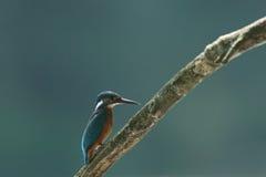 Alcedo Atthis Kingfisher стоковое фото rf