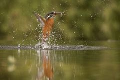 Kingfisher, Alcedo atthis. A diving bird royalty free stock photos