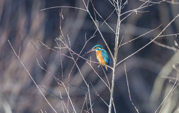 Alcedo atthis, kingfisher, Royalty Free Stock Image