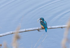 Alcedo atthis, kingfisher, Royalty Free Stock Photography