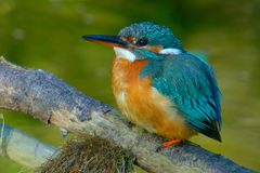 Alcedo atthis. Kingfisher perched on a small branch of the river Royalty Free Stock Photos