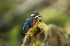 Alcedo atthis. It occurs throughout Europe. Looking for slow-flowing rivers. Royalty Free Stock Images