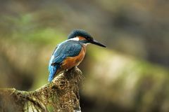 Alcedo atthis. It occurs throughout Europe. Looking for slow-flowing rivers. Stock Photography
