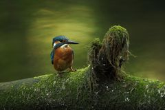 Alcedo atthis. It occurs throughout Europe. Looking for slow-flowing rivers. Royalty Free Stock Image
