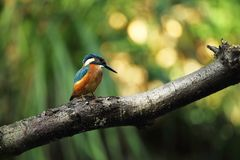 Alcedo atthis. It occurs throughout Europe. Looking for slow-flowing rivers. Stock Photos
