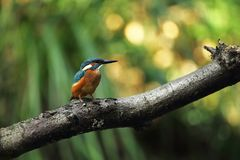 Alcedo atthis. It occurs throughout Europe. Looking for slow-flowing rivers. Royalty Free Stock Photos
