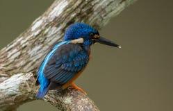Alcedo Azul-orelhudo do martinho pescatore que meninting em uma árvore do ramo Fotos de Stock Royalty Free