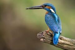 alcedoatthiskingfisher Royaltyfri Bild