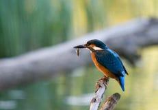 alcedoatthiskingfisher Royaltyfria Bilder