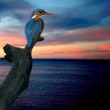 alcedoatthiskingfisher Arkivfoton