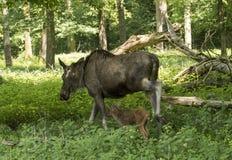 Alces Alces коровы лося Карлсруэ, Германия, Европа Стоковое Изображение RF