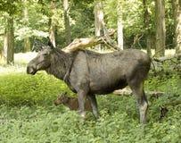 Alces Alces коровы лося Карлсруэ, Германия, Европа Стоковые Фотографии RF