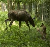 Alces Alces коровы лося Карлсруэ, Германия, Европа Стоковое Изображение