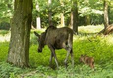 Alces Alces коровы лося Карлсруэ, Германия, Европа Стоковые Фото