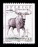 Alces Alces лосей, serie дикого животного, около 1992 Стоковое Изображение