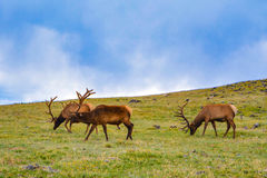 alces Foto de Stock Royalty Free
