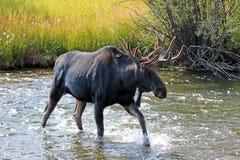 Alces adultos de Bull com derramamento dos chifres de veludo que cruzam a angra em Wyoming E.U. de A Fotos de Stock Royalty Free