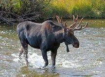 Alces adultos de Bull com os chifres de veludo que cruzam a angra em Wyoming E.U. fotografia de stock