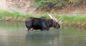 Alces adultos de Bull en el lago Fishercap en los muchos región del glaciar de Parque Nacional Glacier en Montana ISA Imagenes de archivo