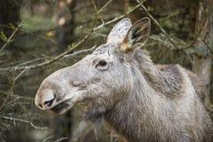 Alces alces - Amerikaanse elanden Stock Foto